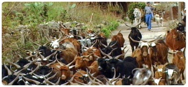 Rebaño de cabra Palmera
