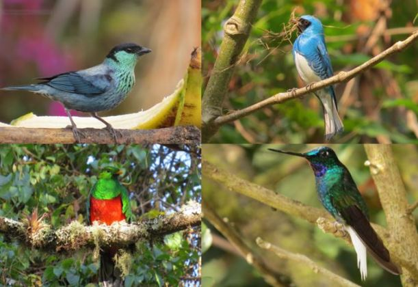 Aviturismo en Santa Marta especies