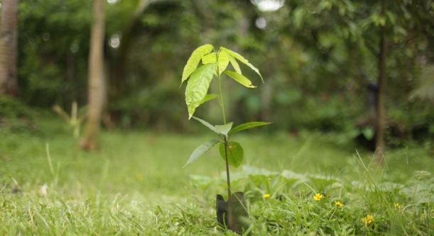 planta tu árbol de cacao